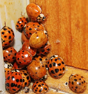 asian lady beetle removal