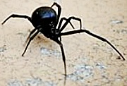 Black Widow Spiders Milwaukee Pest Control