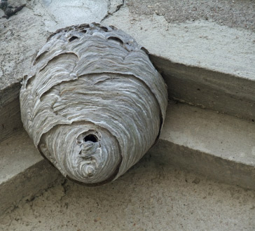 Call Ehler's Pest Management when you discover a WaspNest on your property