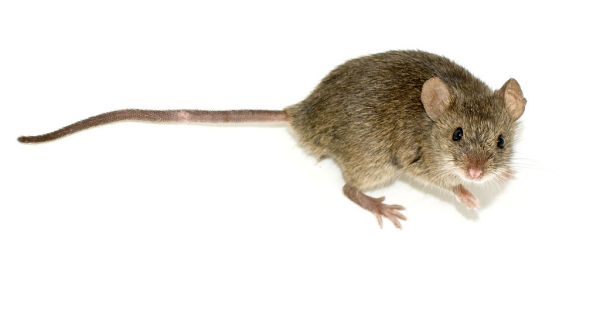 Best Milwaukee Rodent Exterminator Rat Mouse Removal In Southeast Wisconsin Ehlers Pest Management Milwaukee Wisconsin