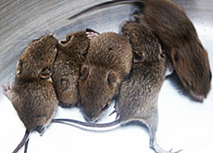Mice Problem Milwaukee Pest Control