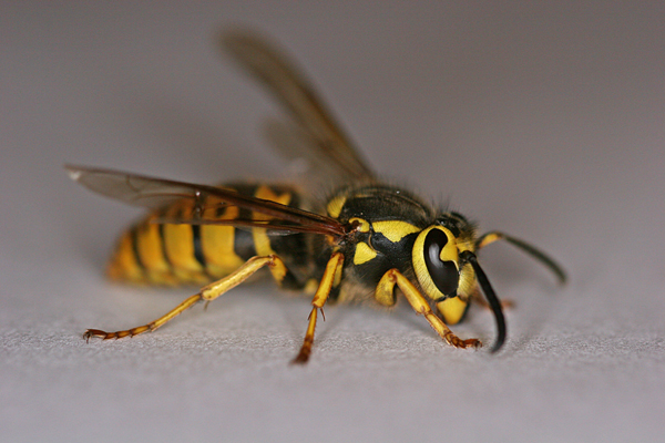 Yellow Jacket Pest Control Milwaukee