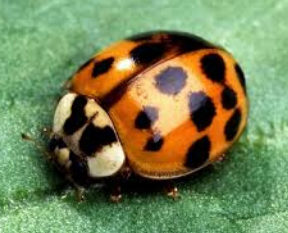 Asian lady beetle extermination near Milwaukee, WI