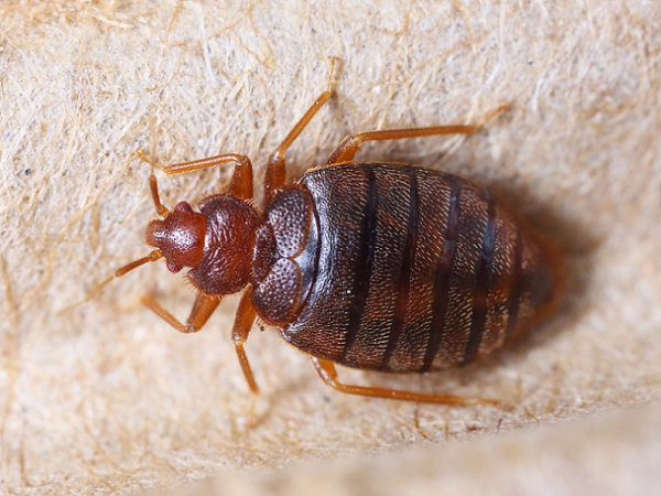 Bed Bugs Are Affordable Bug Heat Treatment Exterminators In Milwaukee