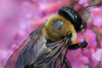 Carpenter bee removal in Milwaukee, WI