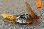 Cicada killer wasp removal in Milwaukee, WI