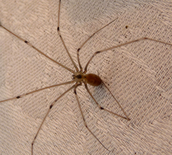 Daddy Long Legs extermination near Milwuakee