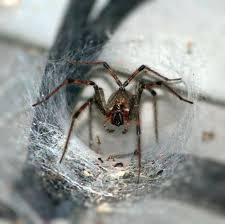 Funnel Web Spider Extermination near Milwaukee